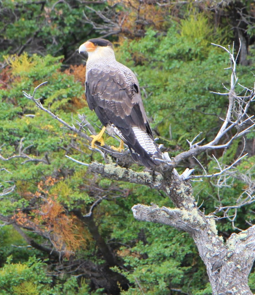 Caracara - Torres del Paine Nationalpark