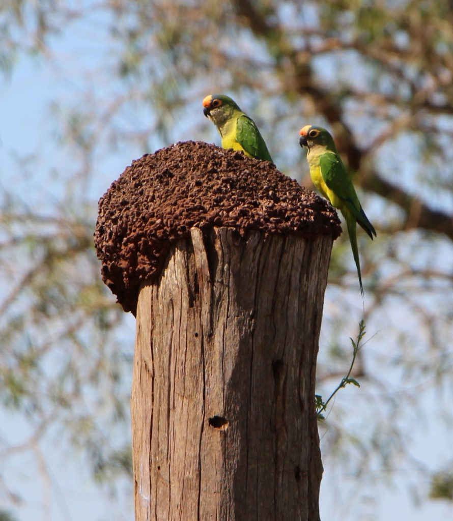 Bonito - Peech-fronted Parakeet