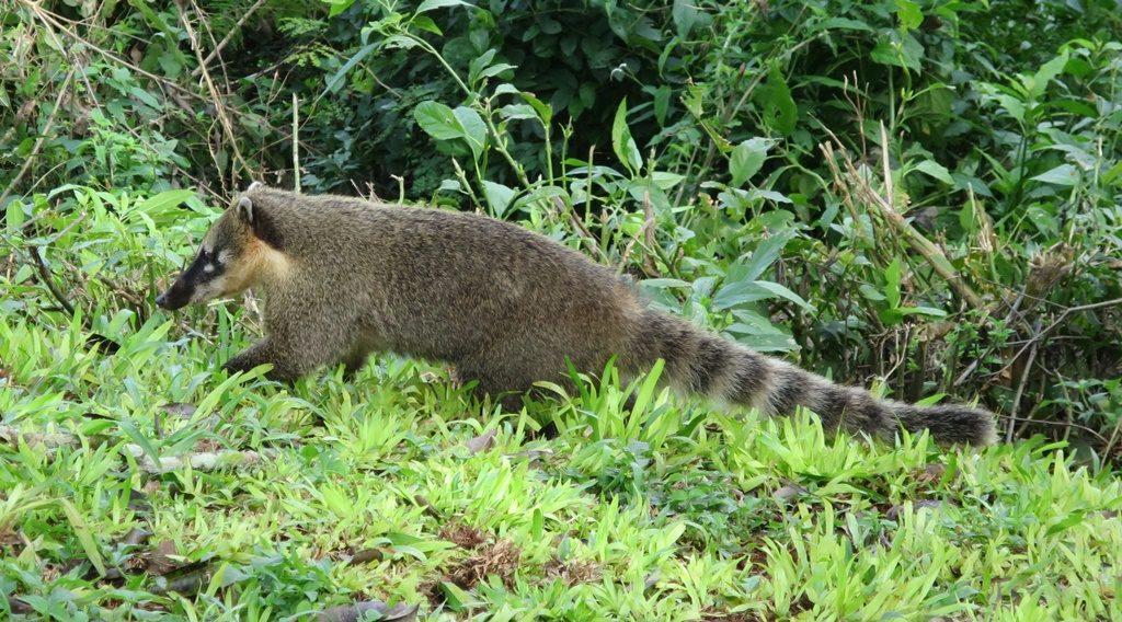 Pantanal - Nasenbär