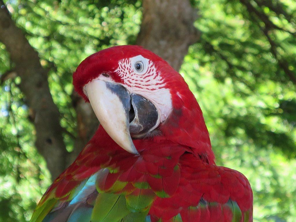 Pantanal - roter Ara