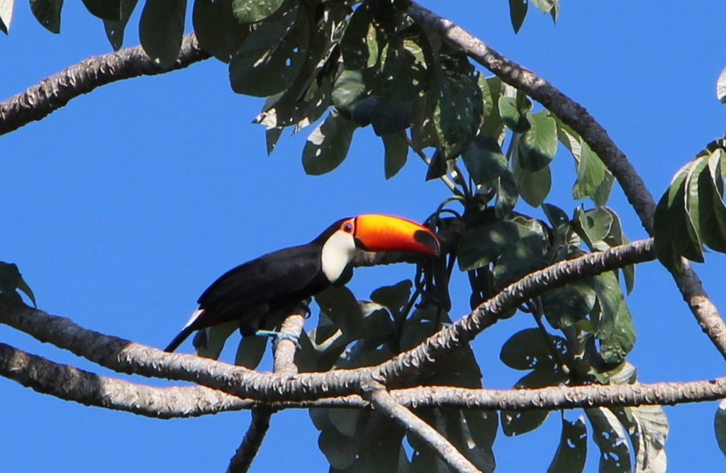 Pantanal - Tucan