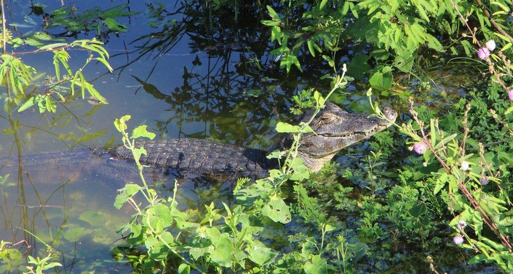 Pantanal - Kaiman