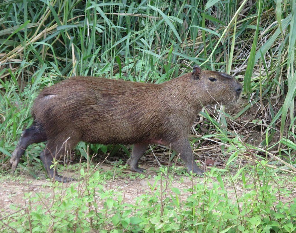 Pantanal - Cabybara