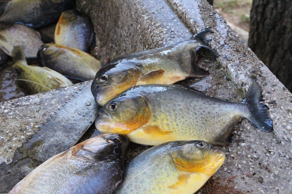 Pantanal - Piranha Fischen