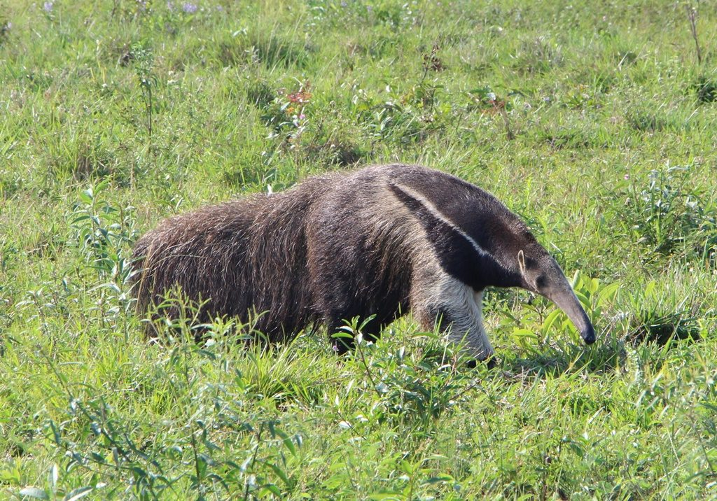 Pantanal - Ameisenbär