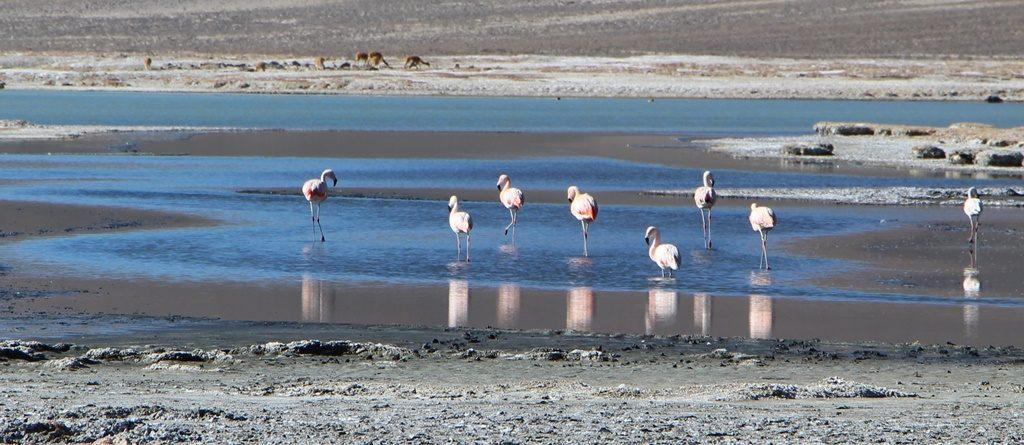 Salar de Surire - Reservat de Vicuñas