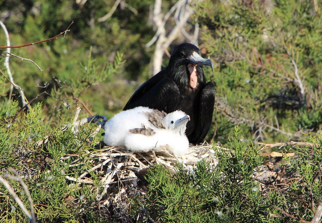 Fregattvogel mit Jungtier