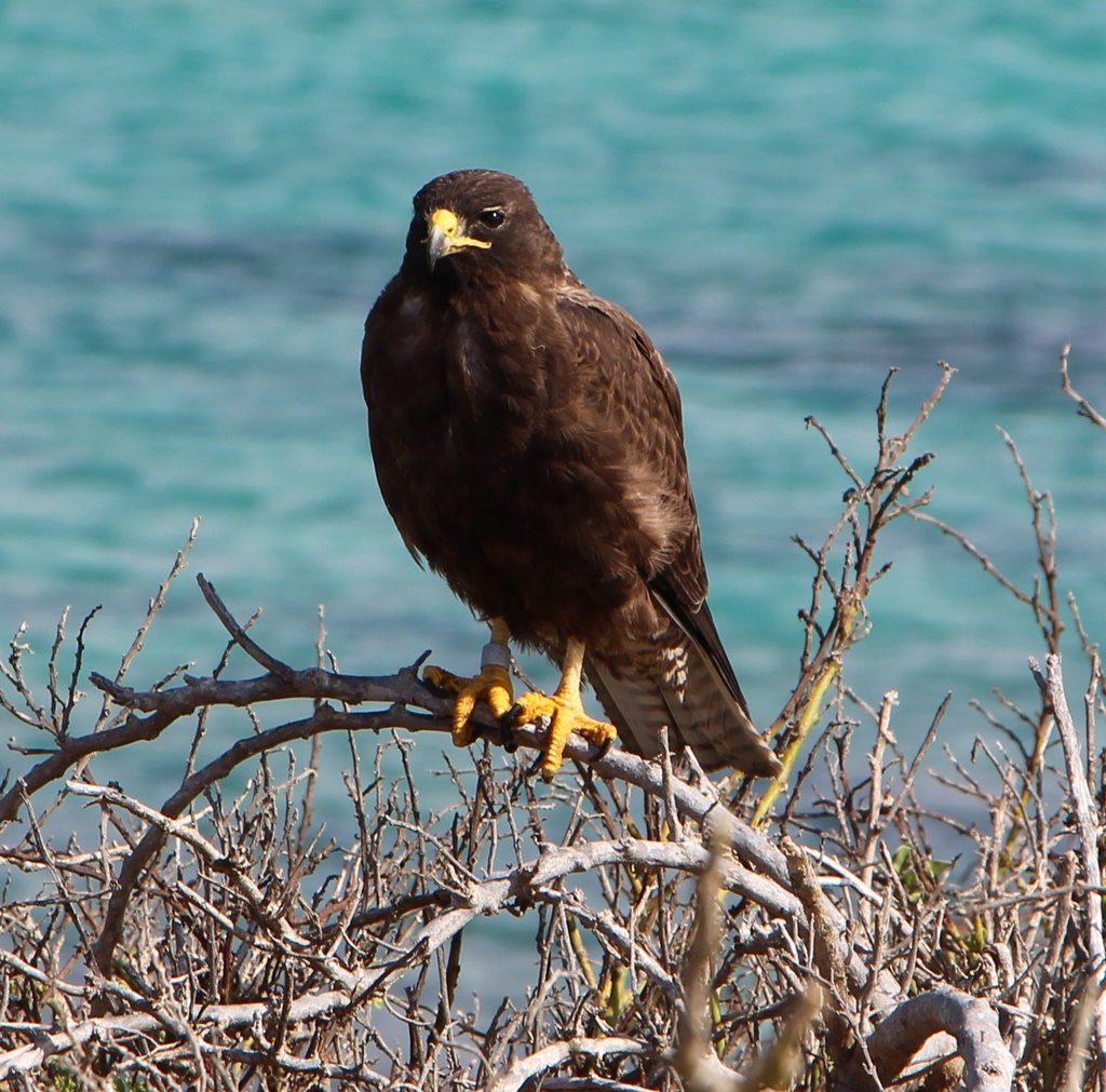 Galapagos Falke