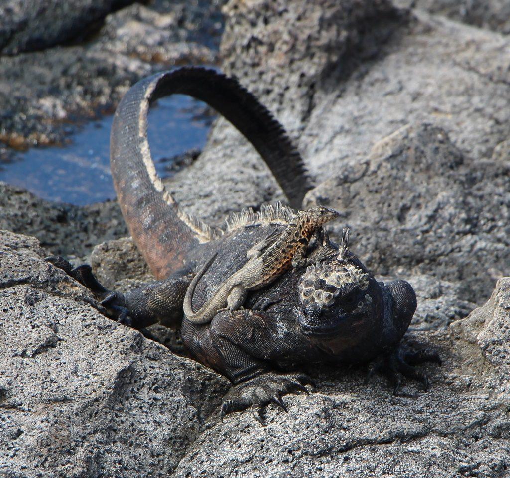 Iguana Marina mit Besuch auf dem Rücken