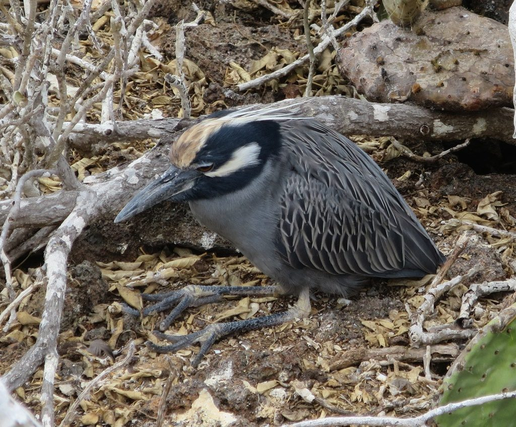 Miesepeter - Yellow-crowned Night Heron