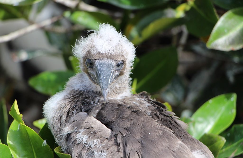 Red Footed Boobie Jungtier