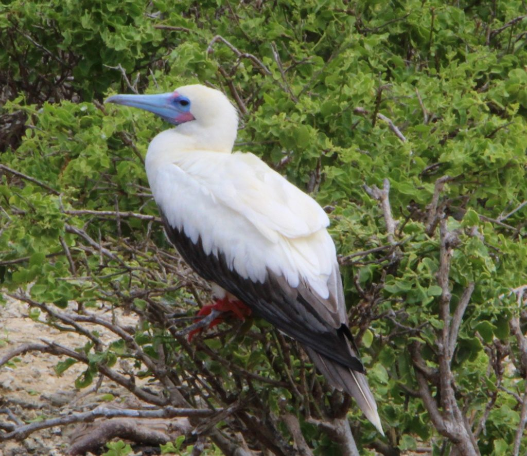 Red Footed Boobie