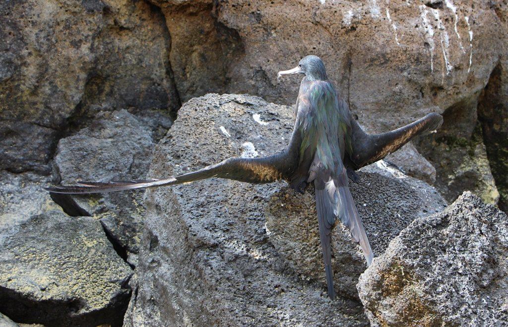 Grosser Fregattvogel beim Meditieren