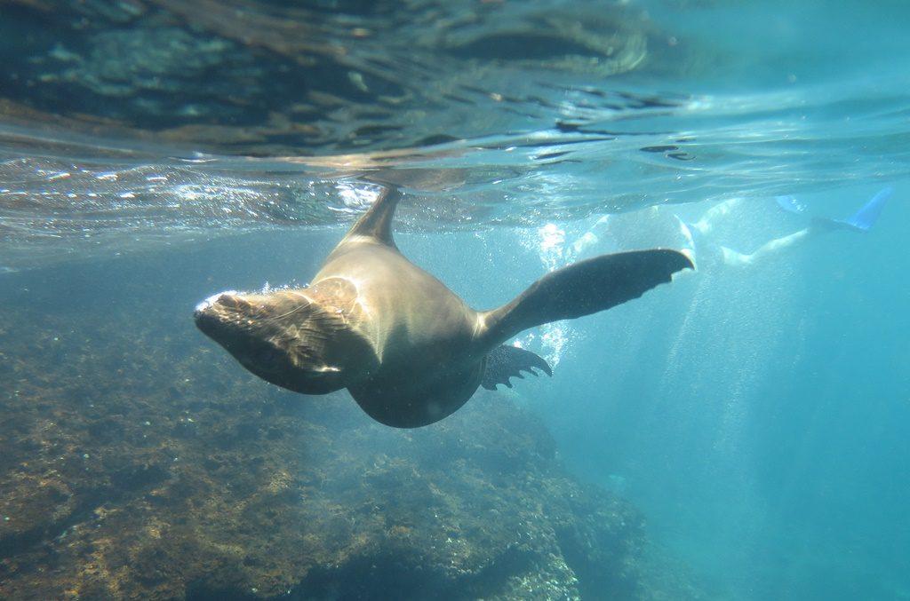Seelöwen-Besuch beim Schnorcheln