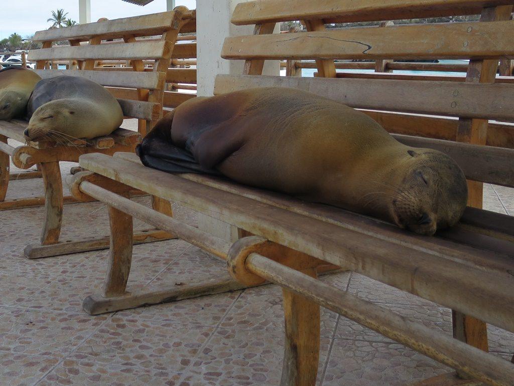 schlafende Seelöwen am Pier