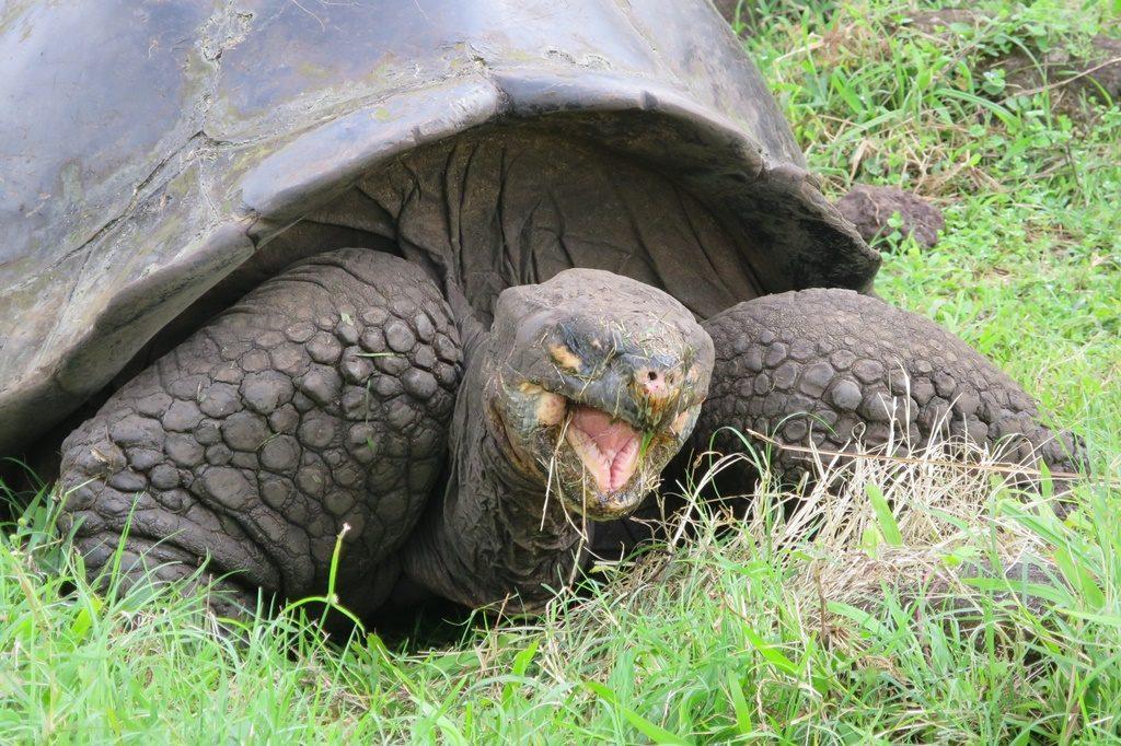 Riesen-Landschildkröte - Isla Santa Cruz