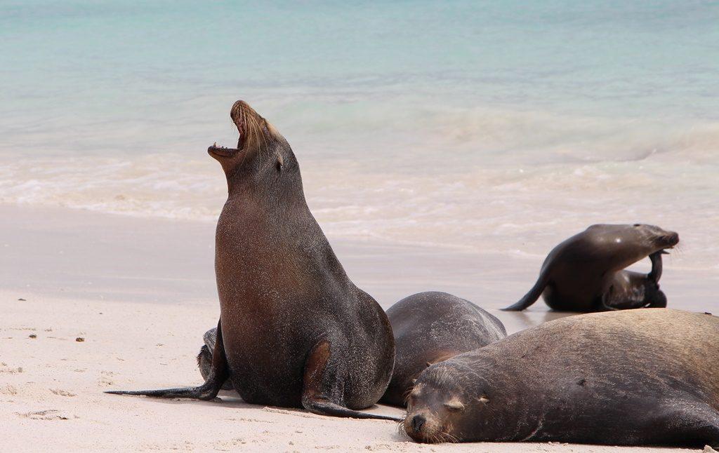 protestierender Seelöwe