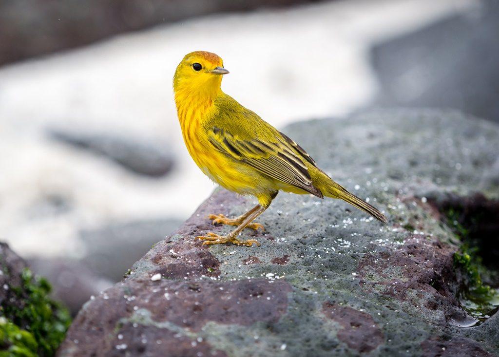 Fotobomber - Yellow Warbler
