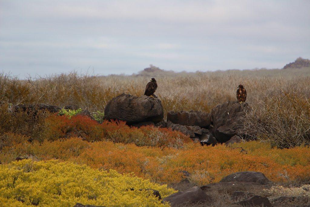 Galapagos Falken (m/w)