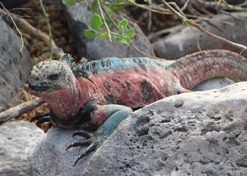 farbenprächtiger Iguana Marina