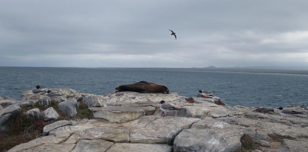 Bachelor Seelöwe bei den Klippen