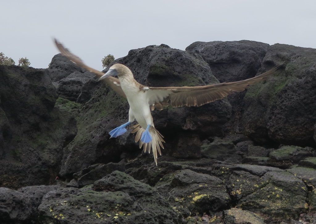 Blue Footed Boobie im Landeanflug