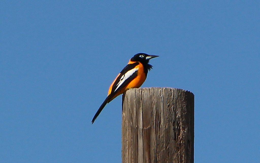 Oranje-Bird:)